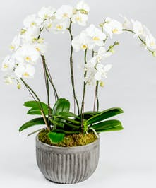 Beautiful multi-stem white phalaenopsis orchids are planted together in a decorative ceramic pot for this lush orchid garden.