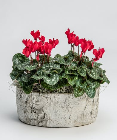 red cyclamen in oblong ceramic container