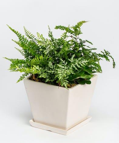 Green Fern in Ceramic Container
