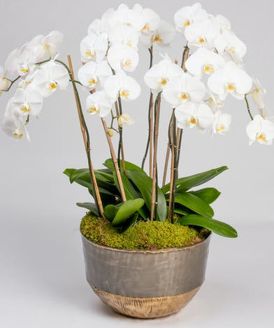 A stunning grouping of white, double phalaenopsis orchids are planted together in a large decorative container.