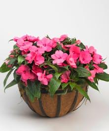 hanging basket of pink new guinea impatiens
