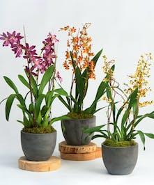unique oncidium orchids