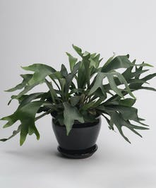 staghorn fern in black ceramic container