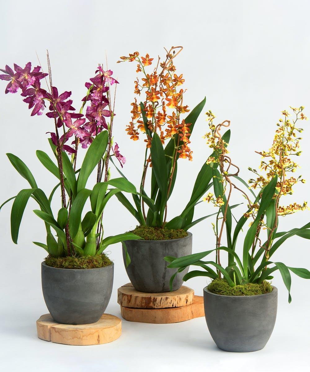 Orchids Roots Oncidium