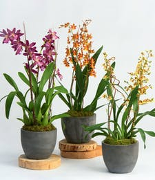 Designer's Choice Oncidium Orchid